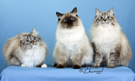 Our Siberian cats: Charmy, Maximus and Misty